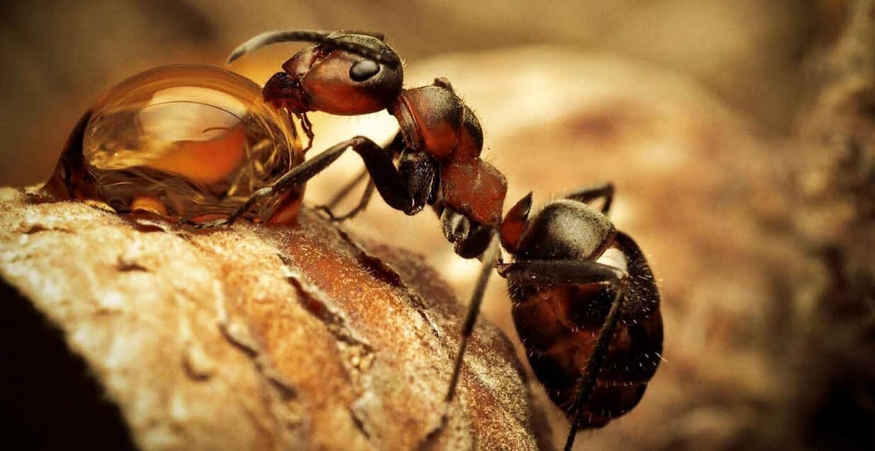 муравьиная настойка на спирту